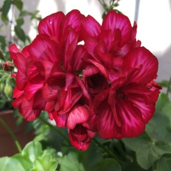 Pelargonium 'Precision Red Bicolor'