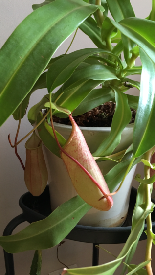 Nepenthes Pitcher Plant